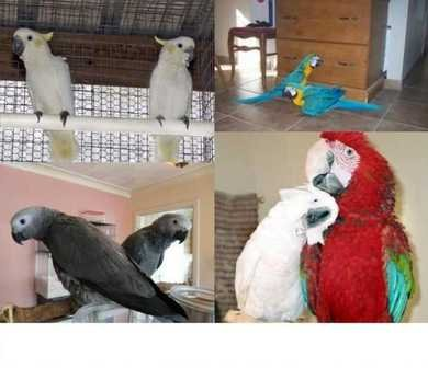 Talking  African grey Parrots, Macaws and Cockatoos Pairs with Cage