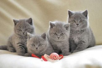 male and female British short Hair kittens ready now
