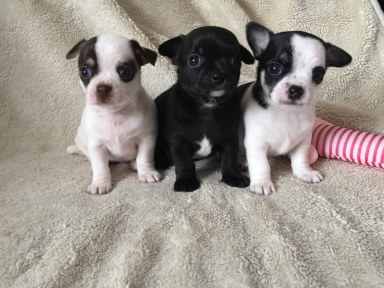 gorgeous chihuahua puppies looking for new homes